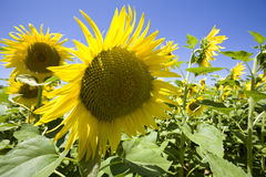 Sunflowers growing in field Royalty Free Stock Photos