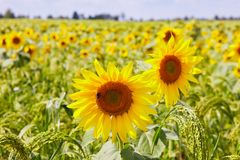 Sunflowers growing in a field against a millet background. royalty free stock image