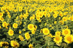 Sunflowers growing in a field. Stock Images