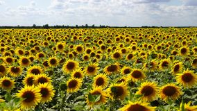 Sunflowers growing in a field on a farm stock video footage