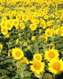 Sunflowers growing in a field-vertical iamge Royalty Free Stock Photography