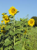 Sunflowers growing in the garden Stock Image