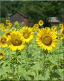Sunflowers Growing by a Red Barn  Royalty Free Stock Image