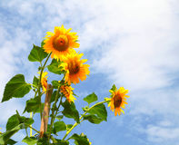 Sunflowers growing in the sky Stock Image