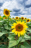 Sunflowers growth against blue sky. Royalty Free Stock Images