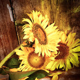 Sunflowers with a grunge rustic wooden background Royalty Free Stock Image