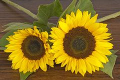Sunflowers on hardwood oak shelf Royalty Free Stock Images