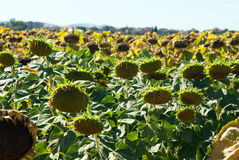 Sunflowers for harvest Stock Image