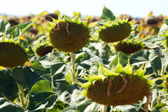 Sunflowers for harvest Royalty Free Stock Photo