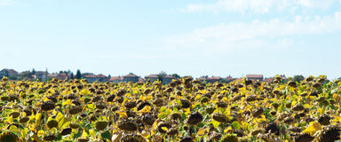 Sunflowers for harvest Stock Photography