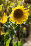 Sunflowers for harvest Stock Photo