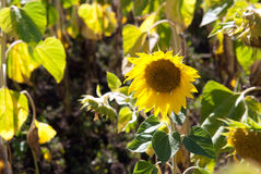 Sunflowers for harvest Stock Photos