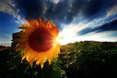 Sunflowers HDR Landscape Stock Images