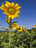 Sunflowers (Helianthus annuus). Are annual plants native to the Americas, that possess a large inflorescence (flowering head). Sunflower stems can grow as high Stock Image