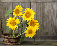 Sunflowers, Helianthus annuus Royalty Free Stock Photography
