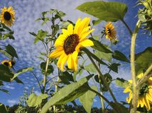 Sunflowers - Helianthus Annuus. Sunflowers in August in a field Stock Photography