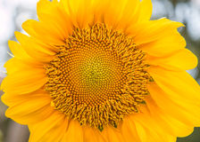Sunflowers or Helianthus annuus field. It is an annual plant in the family Asteraceae with a large flower head Royalty Free Stock Photos