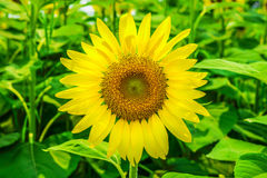 Sunflowers or Helianthus annuus field Stock Images