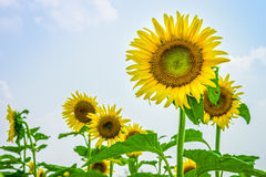 Sunflowers or Helianthus annuus field Royalty Free Stock Photography