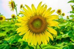 Sunflowers or Helianthus annuus field Stock Photos