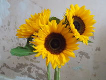 Sunflowers, Helianthus. Royalty Free Stock Image