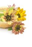 Sunflowers (Helianthus) Royalty Free Stock Photo