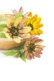 Sunflowers (Helianthus) Stock Photo