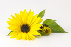 Sunflowers (Helianthus) Stock Photos