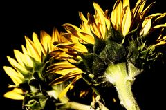 Sunflowers with high-dynamic effect Royalty Free Stock Photo