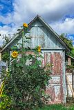 Sunflowers higher than building