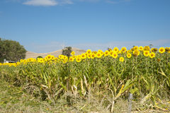 Sunflowers by highway in Waikato. Royalty Free Stock Image