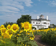Sunflowers and home. House with sunflower field and path Royalty Free Stock Images
