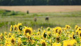 Sunflowers And Horses On Meadow. Sunflowers field and two brown horses on the meadow stock footage