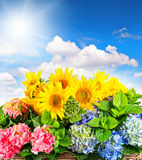 Sunflowers and hortensia blossoms over blue sky. Summer flowers Royalty Free Stock Photos