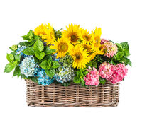 Sunflowers and hortensia blossoms. Summer flowers in basket Stock Photos