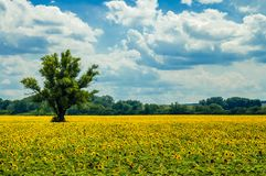 Sunflowers and hot summer day stock images