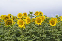 Sunflowers in Hungary Royalty Free Stock Photos