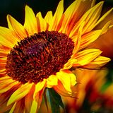 Sunflowers. That i had growing in my garden last Stock Photography