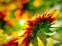 Sunflowers. That i had growing in my garden last Royalty Free Stock Photo