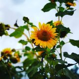 The sunflower in the clouds Stock Photography