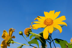 Sunflowers In The Field Royalty Free Stock Image
