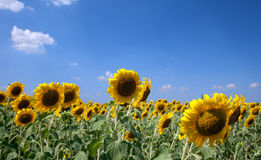Sunflowers In The Field With Bright Blue Sky Stock Photo