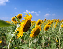 Sunflowers In The Field With Bright Blue Sky Royalty Free Stock Photos