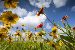 Sunflowers and Indian Blankets Stock Image