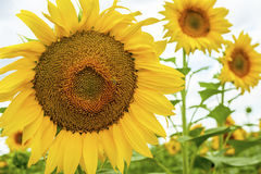 Sunflowers and insects Nature Yellow Flowers blooming  field Stock Photos