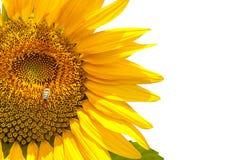 Sunflowers Royalty Free Stock Image