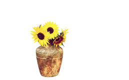 Sunflowers isolated. Royalty Free Stock Image