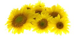 Sunflowers isolated Stock Images
