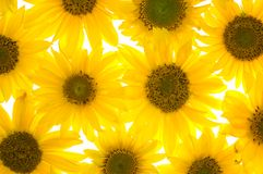 Sunflowers isolated Royalty Free Stock Image