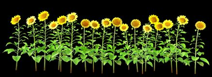 Sunflowers isolated on black. Background. Isolation as additional in png format royalty free stock photography